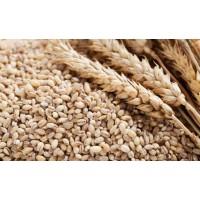 Cevadinha  em  grãos  (  100g)